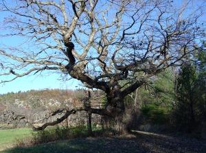 Wolf Oak