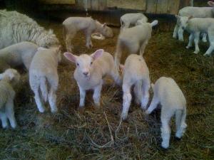 Week Old Lambs
